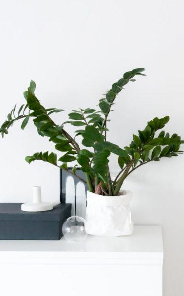 Planta Zamioculca em ambiente interno